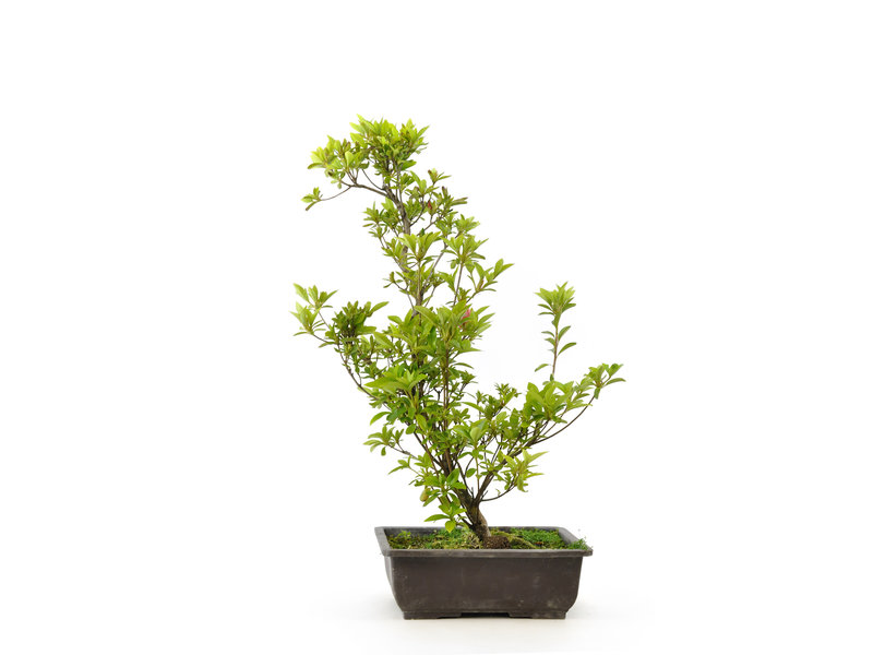 Japanse azalea (Tateyama no mai), 50 cm, ± 9 jaar oud
