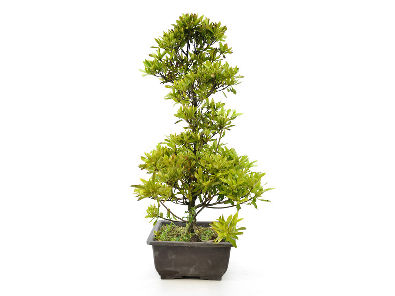 Japanse azalea (Tateyama no mai), 44 cm, ± 9 jaar oud