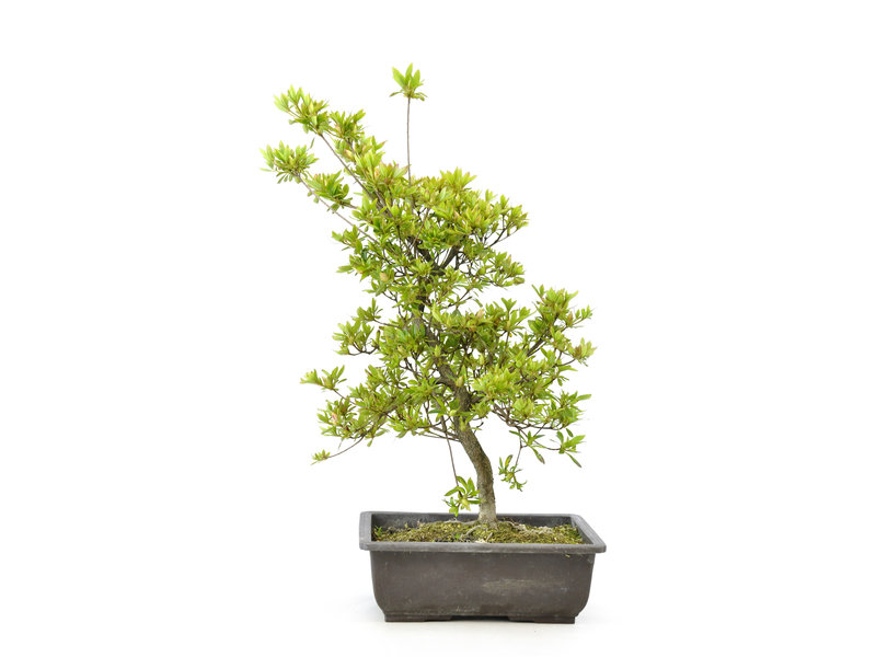 Japanse azalea (Sakura), 45 cm, ± 9 jaar oud