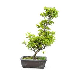 Japanese azalea (Tateyama no mai), 47 cm, ± 9 years old