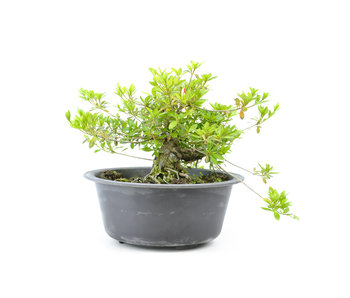 Japanese azalea (Matsuri no tuki), 23 cm, ± 15 years old