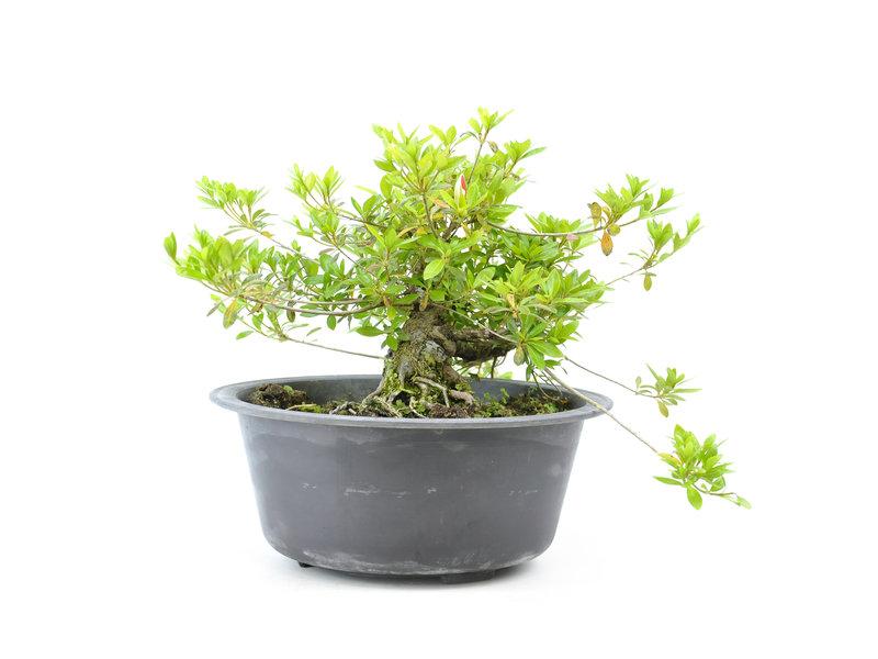 Japanse azalea (Matsuri no tuki), 23 cm, ± 15 jaar oud