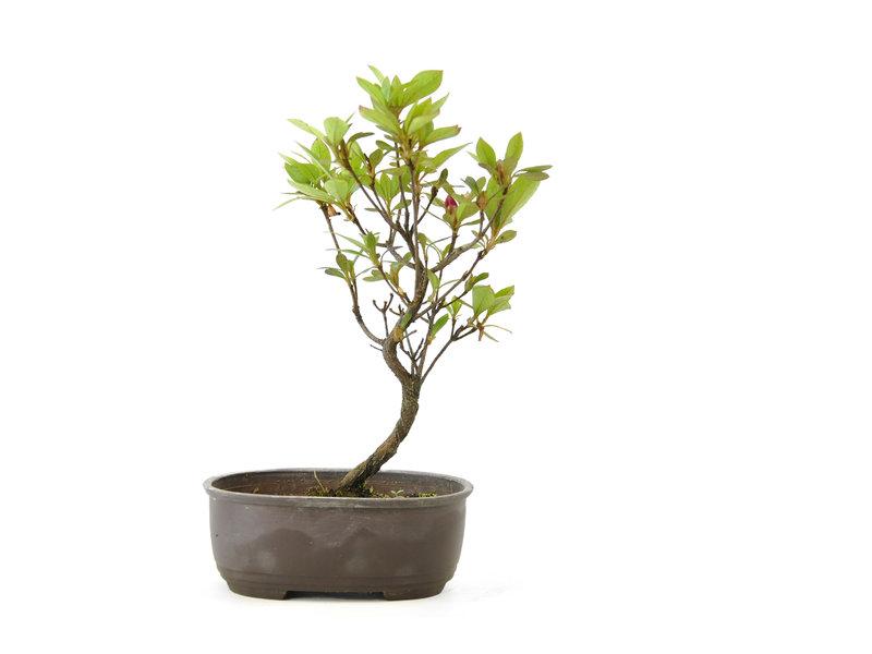 Japanse azalea, 20 cm, ± 8 jaar oud