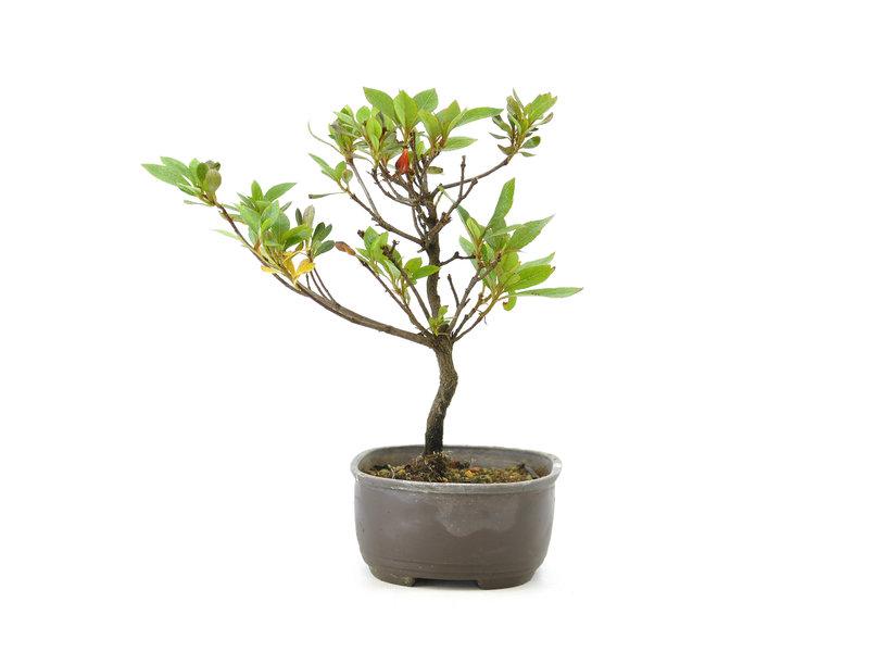 Japanse azalea, 19 cm, ± 8 jaar oud