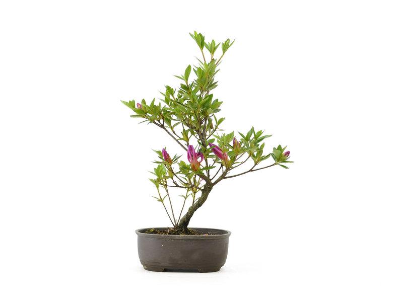Japanse azalea, 25 cm, ± 8 jaar oud
