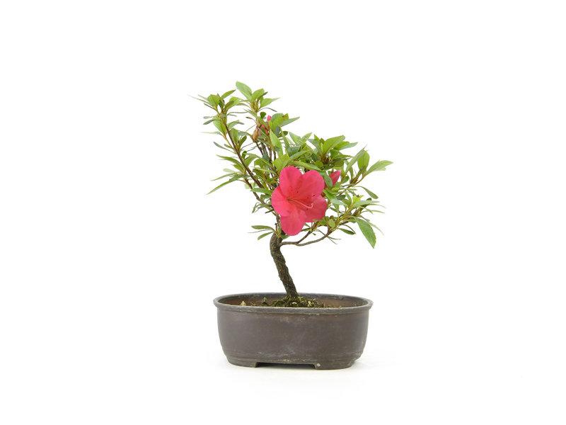 Japanse azalea, 19,1 cm, ± 8 jaar oud