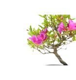 Japanse azalea, 17,2 cm, ± 8 jaar oud