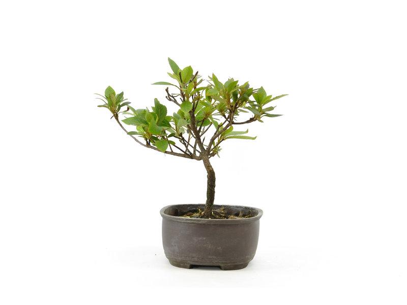 Japanse azalea, 15 cm, ± 8 jaar oud