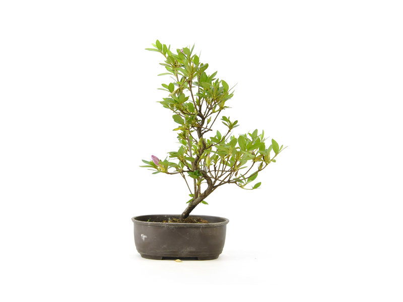 Japanse azalea, 25,1 cm, ± 8 jaar oud