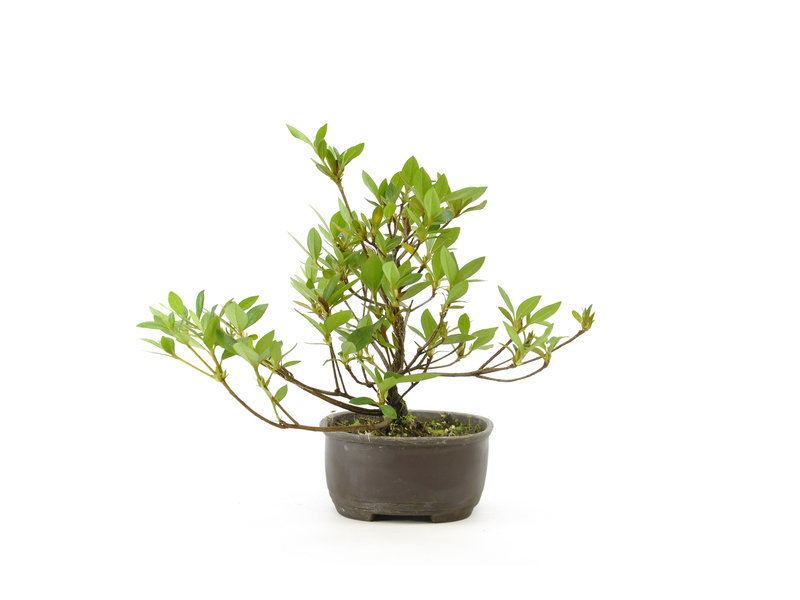 Japanse azalea, 18,1 cm, ± 8 jaar oud