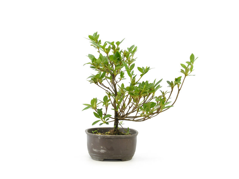 Japanse azalea, 18,2 cm, ± 8 jaar oud
