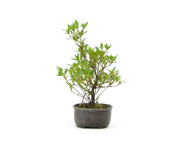 Japanse azalea, 21 cm, ± 8 jaar oud