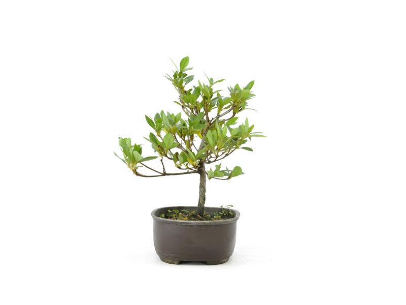 Japanse azalea, 17 cm, ± 8 jaar oud