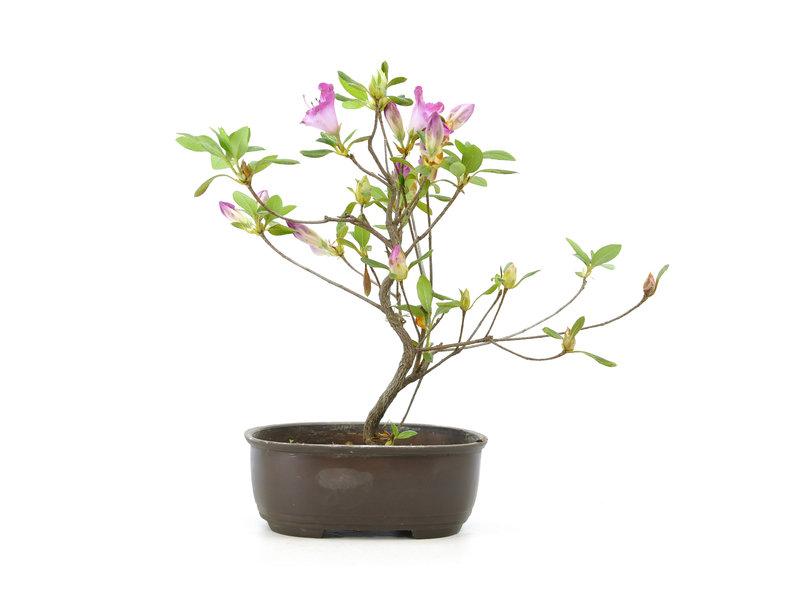Japanse azalea, 22 cm, ± 8 jaar oud