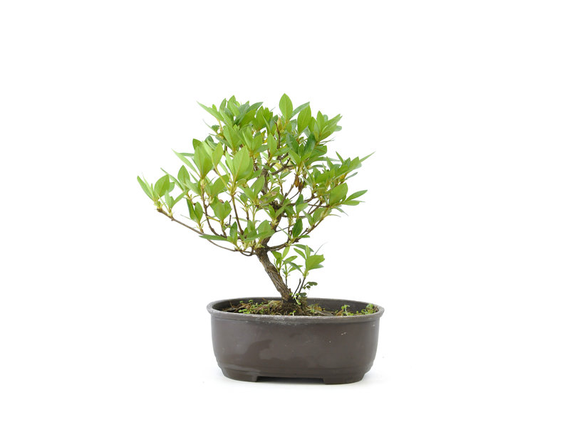 Japanse azalea, 18 cm, ± 8 jaar oud