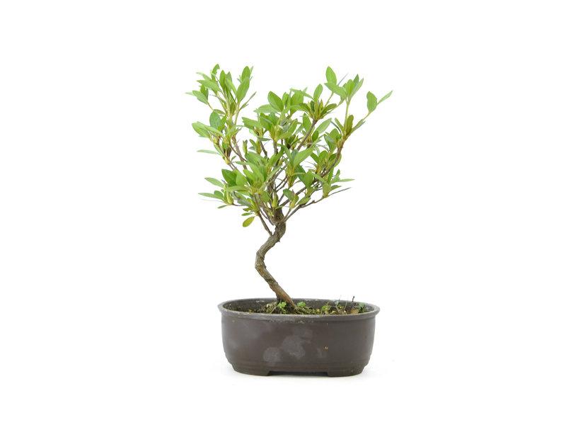 Japanse azalea, 20,1 cm, ± 8 jaar oud