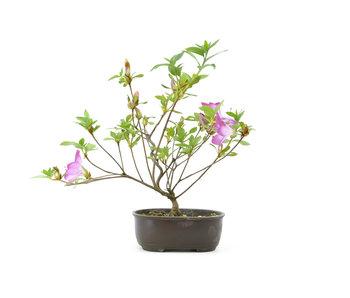 Japanese azalea, 21,1 cm, ± 8 years old