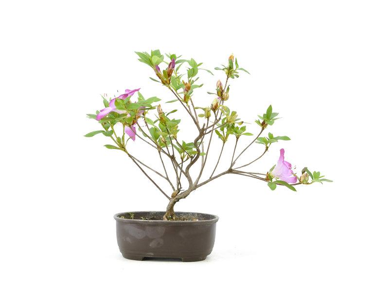 Japanse azalea, 21,1 cm, ± 8 jaar oud