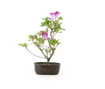 Japanese azalea, 23,2 cm, ± 8 years old