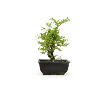 Olmo di corteccia di sughero con foglie piccole, 15 cm, ± 8 anni
