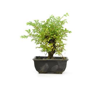 Olmo di corteccia di sughero con foglie piccole, 16 cm, ± 8 anni
