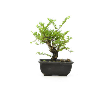 Cork bark elm with small leaves, 15,1 cm, ± 8 years old