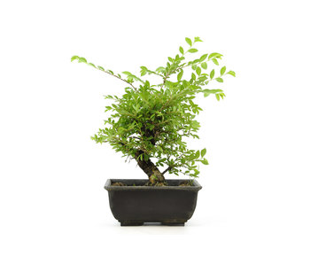 Cork bark elm with small leaves, 16,1 cm, ± 8 years old