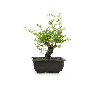 Olmo di corteccia di sughero con foglie piccole, 15,2 cm, ± 8 anni