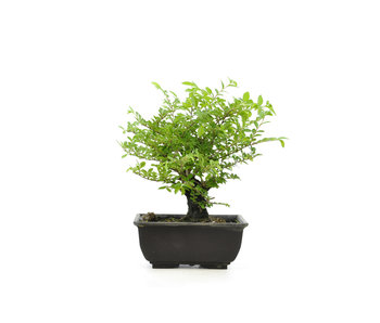 Cork bark elm with small leaves, 16,2 cm, ± 8 years old