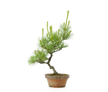 Japanese red pine, 26 cm, ± 23 years old