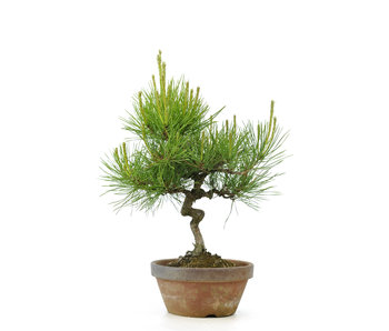 Japanese red pine, 26,1 cm, ± 23 years old