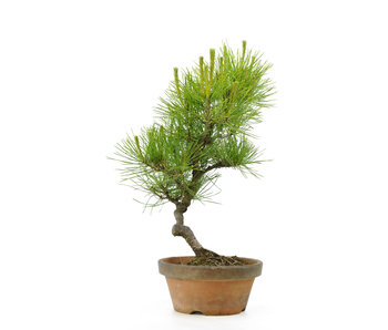 Japanese red pine, 26,2 cm, ± 23 years old