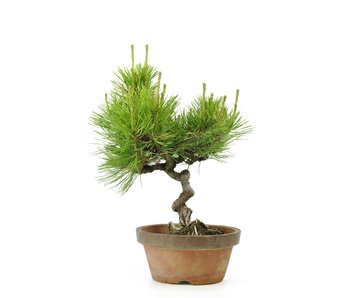 Japanese red pine, 26,3 cm, ± 23 years old