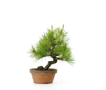 Japanese red pine, 26,4 cm, ± 23 years old
