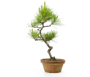 Japanese red pine, 26,5 cm, ± 23 years old