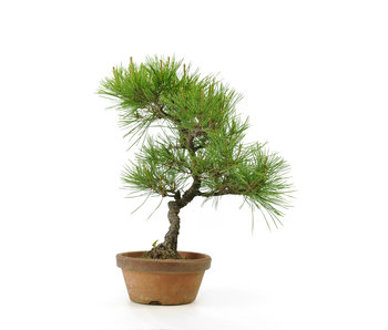 Japanese red pine, 26,6 cm, ± 23 years old
