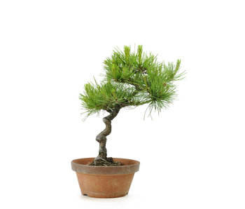 Japanese red pine, 26,7 cm, ± 23 years old