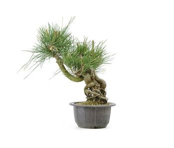 Japanese black pine, 13,3 cm, ± 18 years old