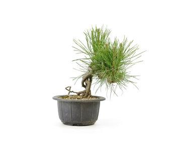 Japanese black pine, 14,4 cm, ± 18 years old