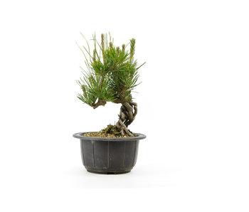 Japanese black pine, 14,5 cm, ± 18 years old