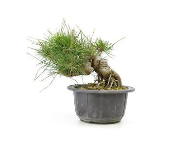 Japanese black pine, 14,6 cm, ± 18 years old