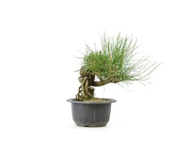 Japanese black pine, 14,7 cm, ± 18 years old