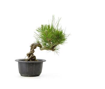 Japanese black pine, 14,8 cm, ± 18 years old