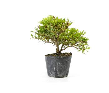 Japanese azalea (Hi no Maru), 12 cm, ± 8 years old
