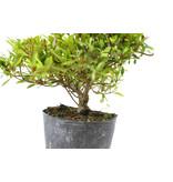 Japanse azalea (Hi no Maru), 12 cm, ± 8 jaar oud