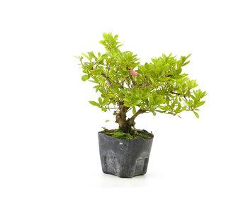 Japanese azalea (Hi no Maru), 12,1 cm, ± 8 years old