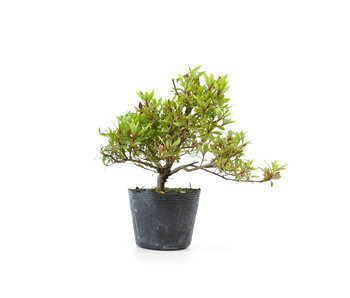 Japanese azalea (Hi no Maru), 12,2 cm, ± 8 years old