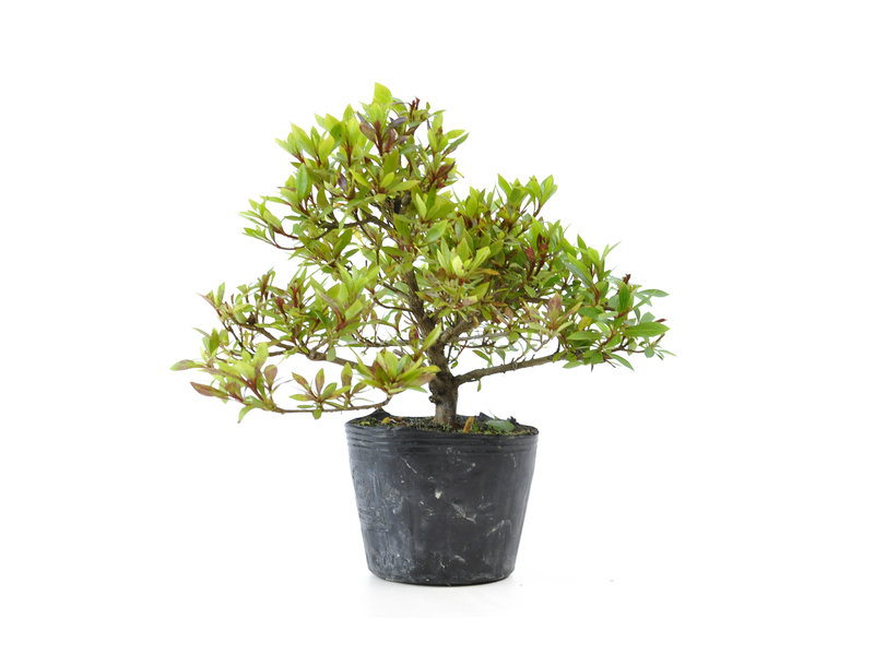 Japanse azalea (Hi no Maru), 12,2 cm, ± 8 jaar oud