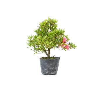 Japanese azalea (Hi no Maru), 12,3 cm, ± 8 years old