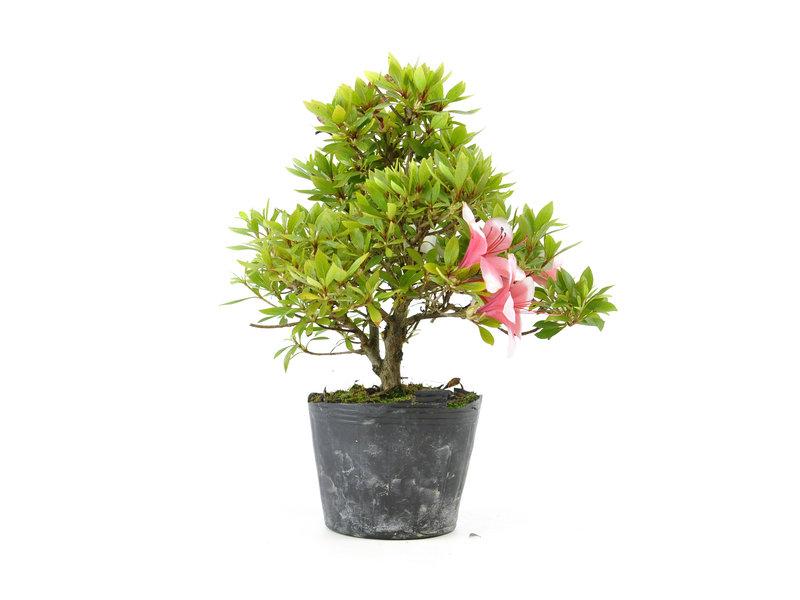 Japanse azalea (Hi no Maru), 12,3 cm, ± 8 jaar oud